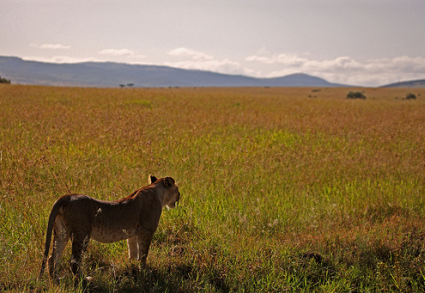 lion in the grasslands
